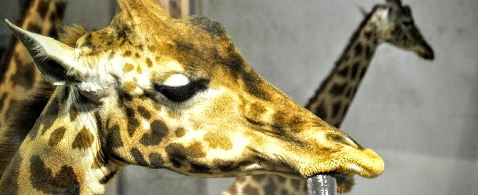 petit-dejeuner -avec-les-girafes
