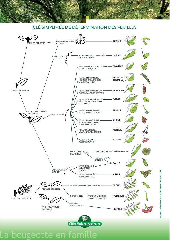 reconnaitre-les-arbres-feuillus-herbier