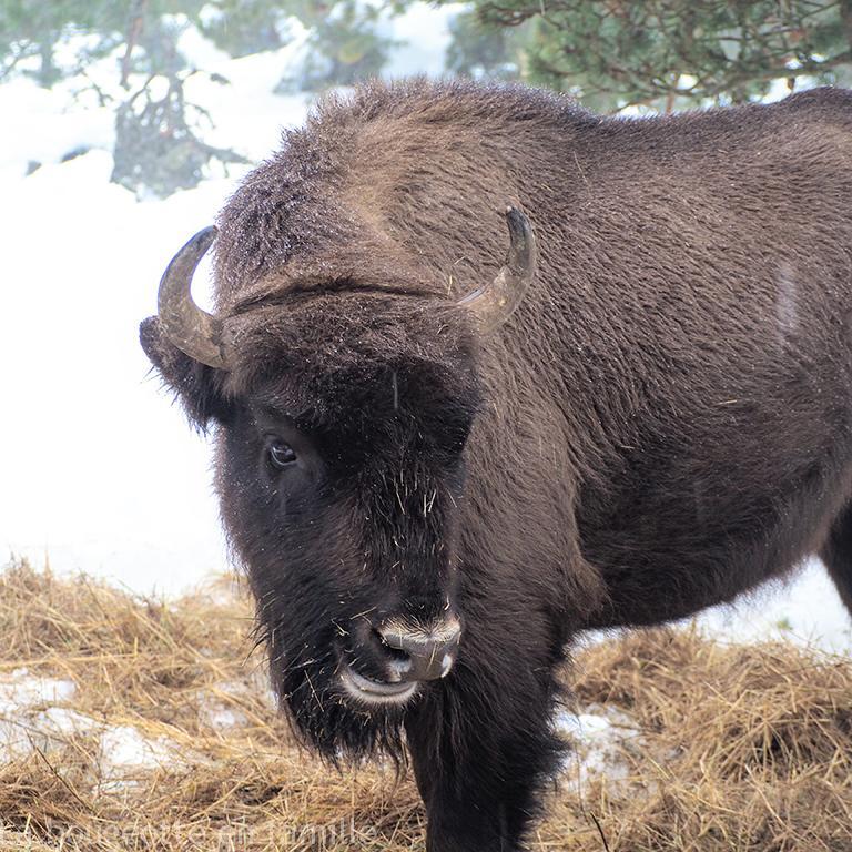 reserve-bison-lozere
