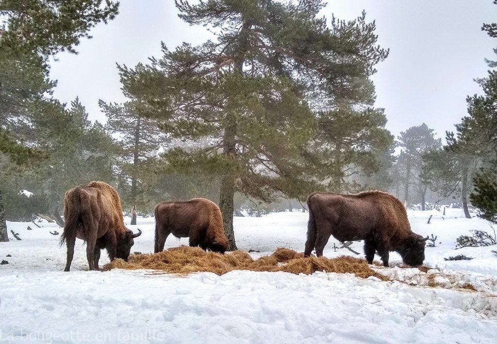 Les loups du Gévaudan et les bisons d'Europe en Lozère