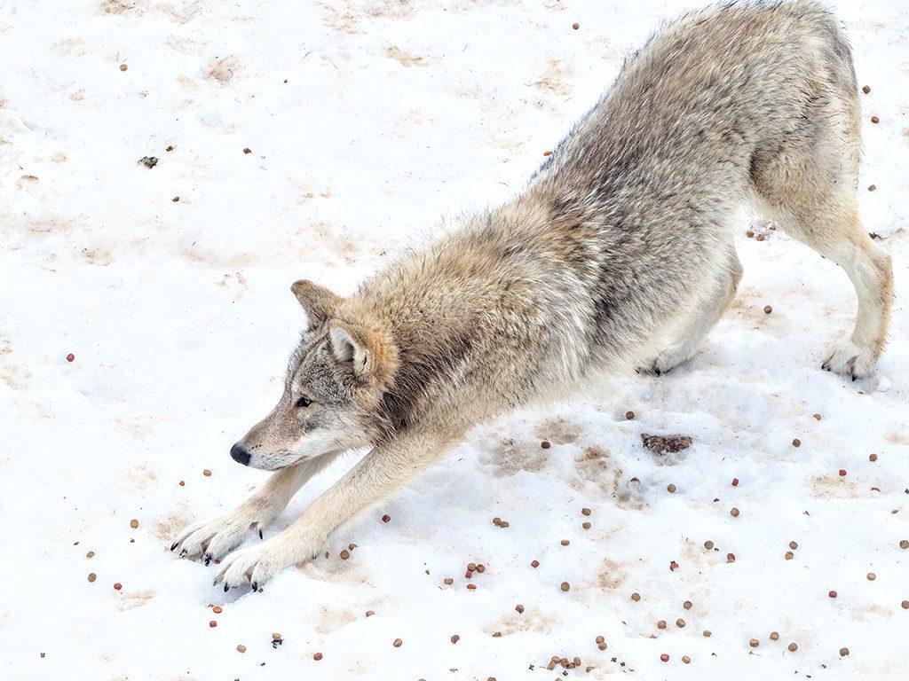 visite-loups-gevaudan-lozere-enfant